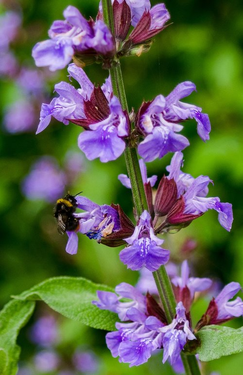 hummel  insect  blossom