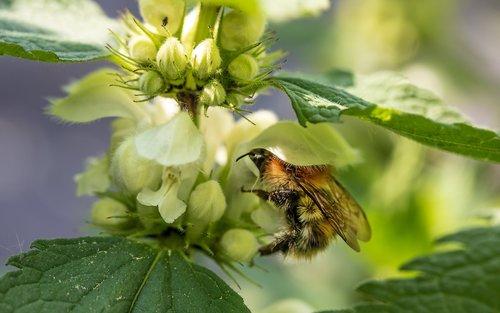 hummel  garden bumblebee  bombus hortorum