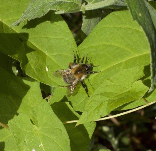 hummel  bombus  flight insect