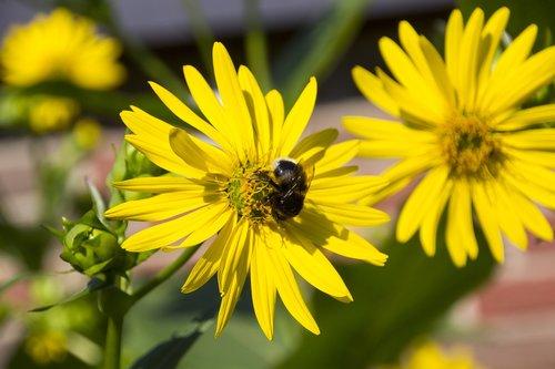 HUMMEL, gėlė, vabzdys, pobūdį, augalų, Sodas, Iš arti, žiedadulkės, maisto, Gyvūnijos pasaulyje, žiedas, žydėjimas