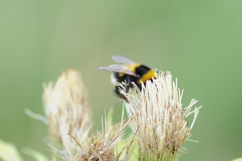 hummel  bumblebee  insect