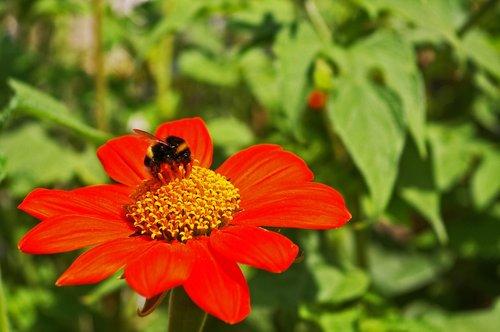 hummel  insect  summer flower