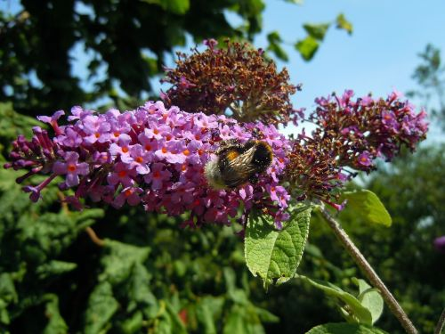 hummel insect lilac