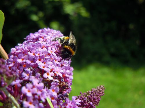 hummel lilac insect