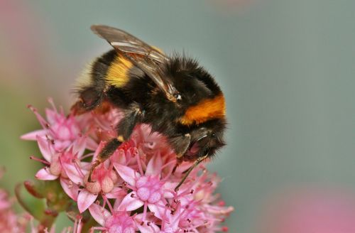 hummel insect animal