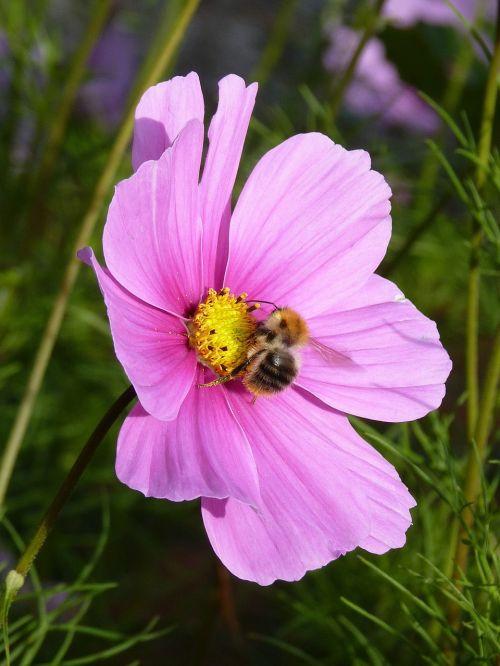 hummel flower blossom