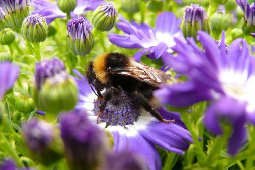 Hummel, vabzdys, Uždaryti, žiedas, žydėti, gėlės, sodas, vasara, apdulkinimas, augalas, žiedadulkės, nektaras, sparnas, gyvūnas, violetinė, lapai, makro, gamta
