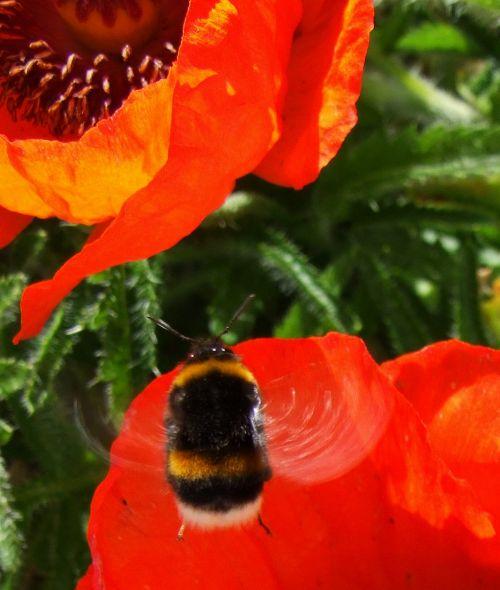 Flight Of The Bumblebee 1