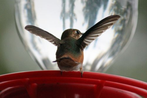 hummingbird bird avian