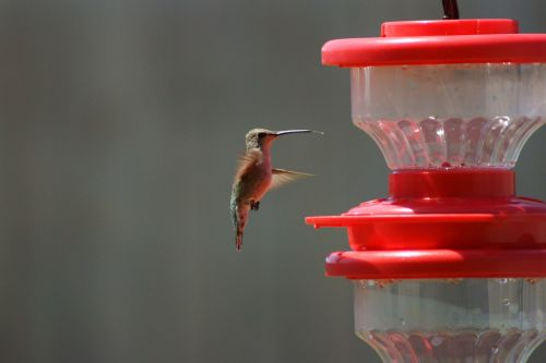 hummingbird bird birding