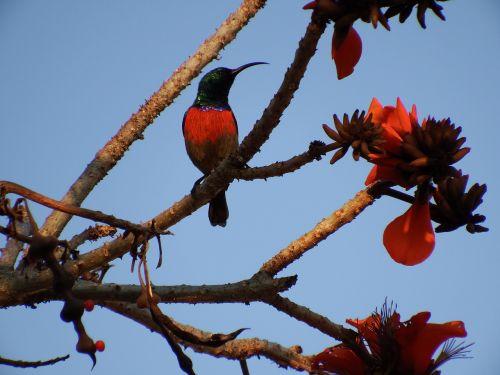 hummingbird tree blossom