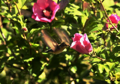 hummingbird small birds wings