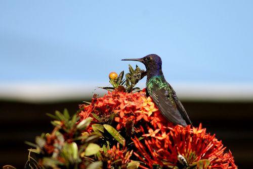 hummingbird paige beija flor