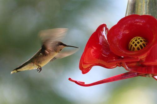 hummingbird bird feeder fly