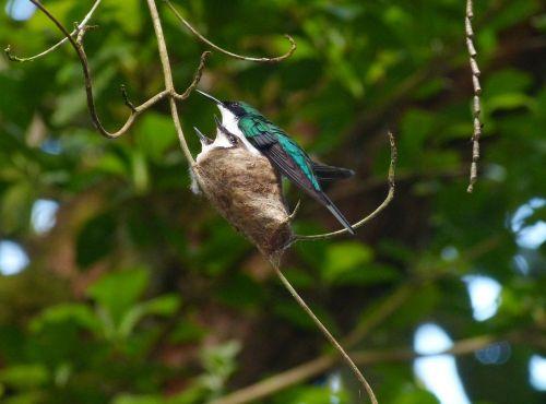 hummingbird bird costa's hummingbird