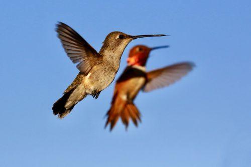hummingbird bird wings
