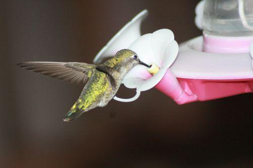 hummingbird feeding hovering