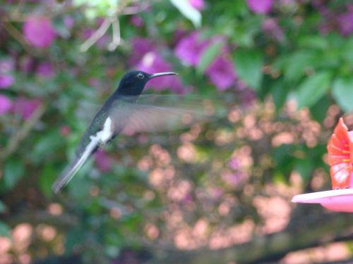hummingbird paige flight of beija flor