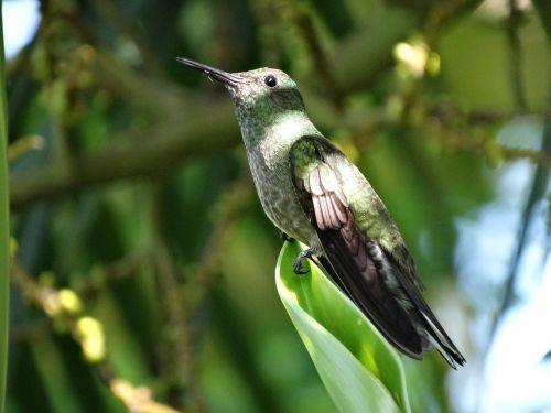 hummingbird tropical bird