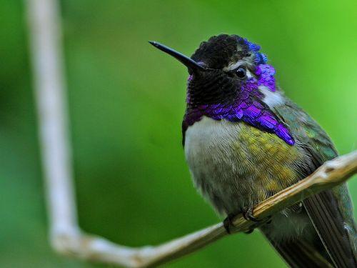 hummingbird bird violet head elf