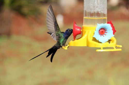 hummingbird colibri bird