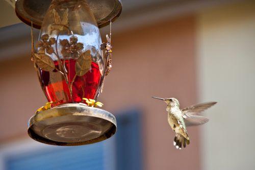 hummingbird feeding chula vista ca