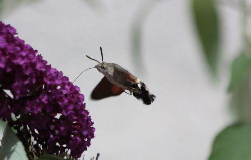 hummingbird hawk moth butterfly fly