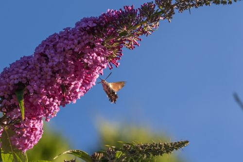 hummingbird hawk moth insect flower