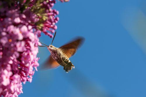 hummingbird hawk moth insect wing