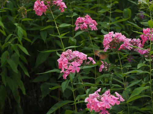 hummingbird hawk moth macroglossum stellatarum dove tail
