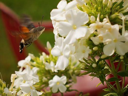hummingbird hawk moth butterfly dove tail