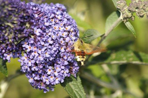 hummingbird hawk moth  insect  flower