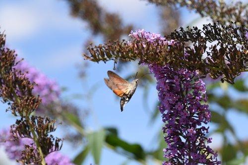 hummingbird hawk moth  macro  moth