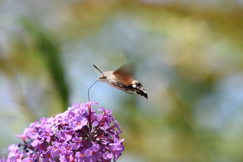 hummingbird hawk moth  insect  moth