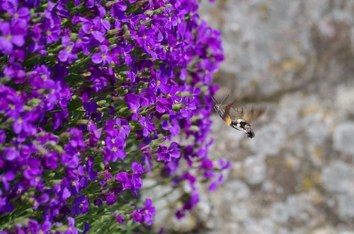 hummingbird hawk moth  butterfly  insect