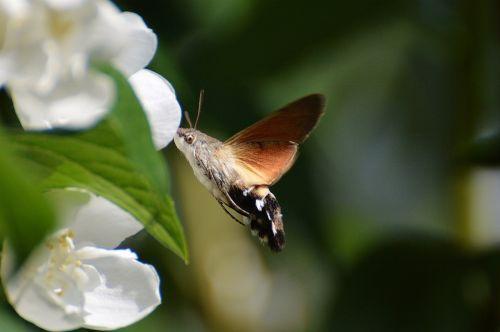 hummingbird hawk moth butterfly moth