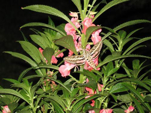 hummingbird moth moth flight wings