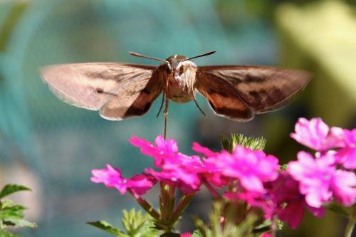 hummingbird moth hawk-moth insect