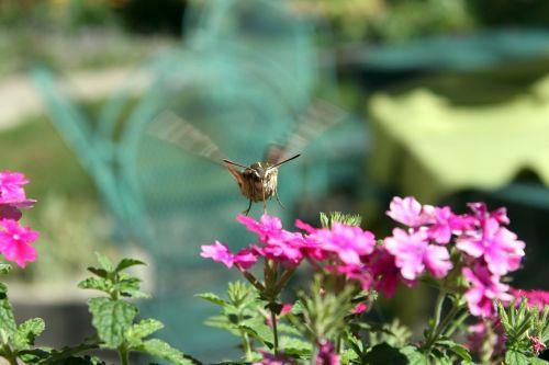 hummingbird moth moth hawk-moth
