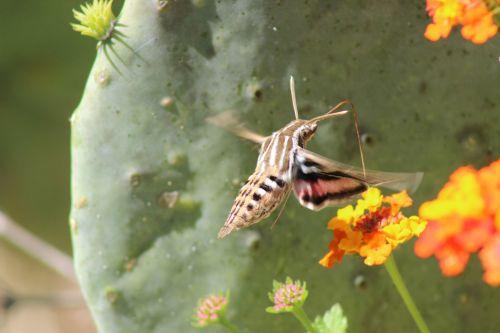 Hummingbird Moth Blurred Wings