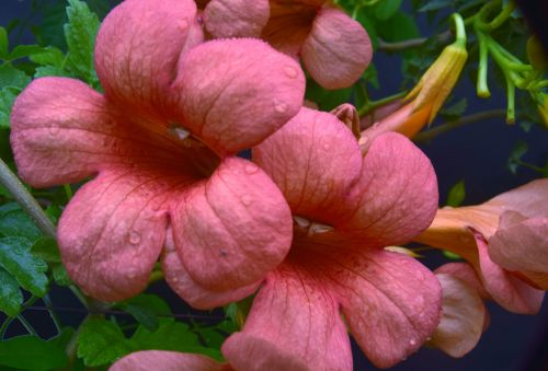 Hummingbird Trumpet Flowers 1