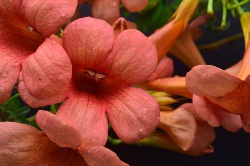 Hummingbird Trumpet Flowers 2