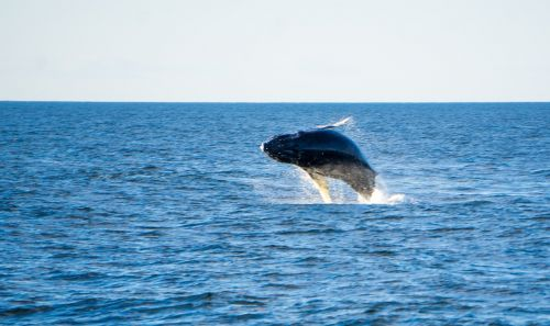 humpback whale ocean