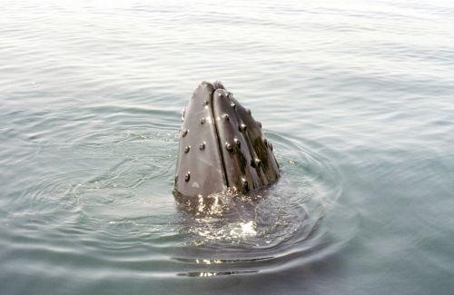 humpback whale cape cod