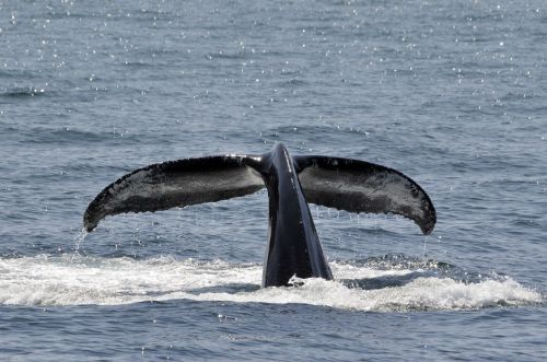 humpback whale breaching tail