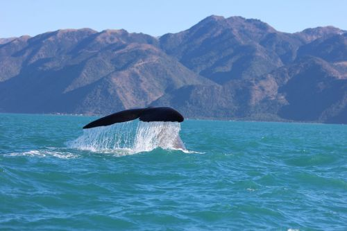 humpback whale whale tail kaikoura