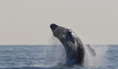 humpback whale jumping breaching