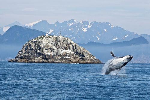 humpback whale breaching ocean