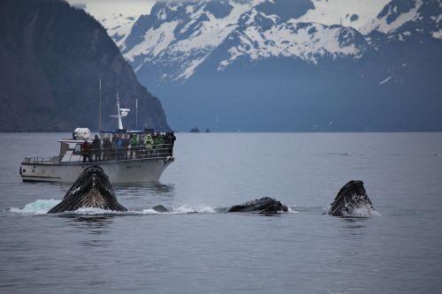 humpback whale breaching feeding