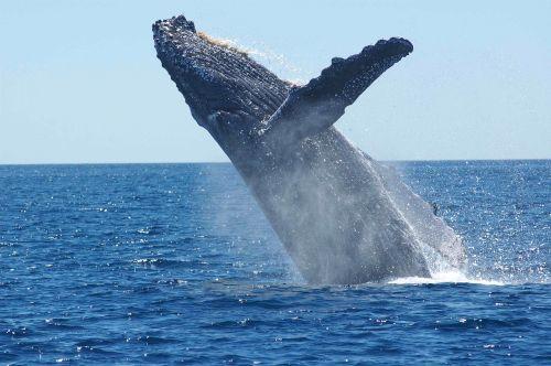 humpback whale breaching jumping
